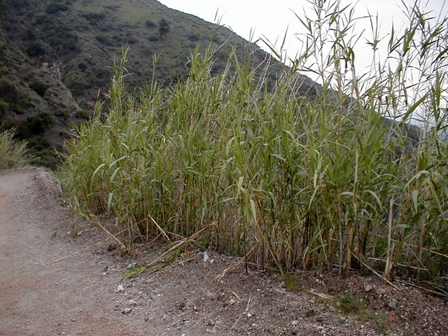 Bamboo is not native to Southern California, but it does grow well here. Much of the toll road was built by migrant Chinese workers, who are probably responsible for planting it in various spots along the road.